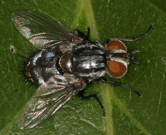 Tachinid Fly_6074 - Winthemia