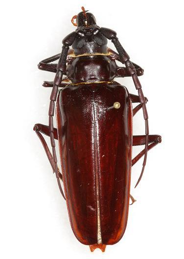 Derobrachus hovorei Santos-Silva - Derobrachus hovorei