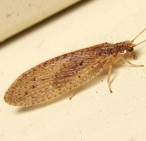 Micromus subanticus