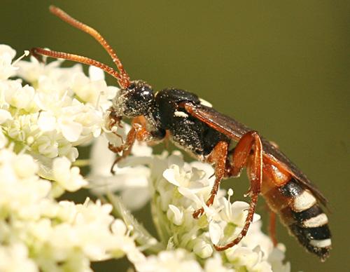 Orange and Black Wasp - Ichneumon ambulatorius - female