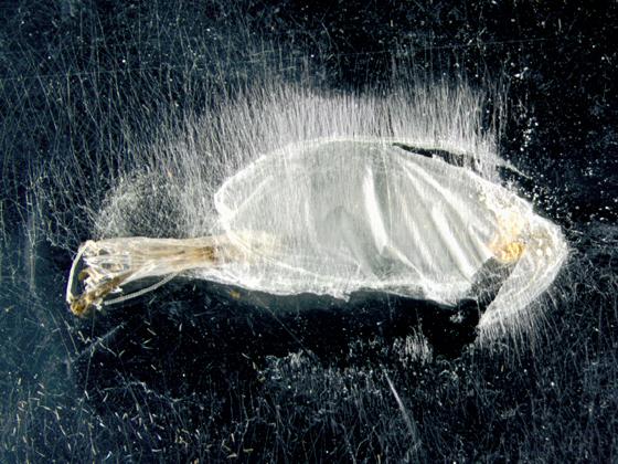 Gracillariidae on Sumac, spent pupal case - Caloptilia rhoifoliella