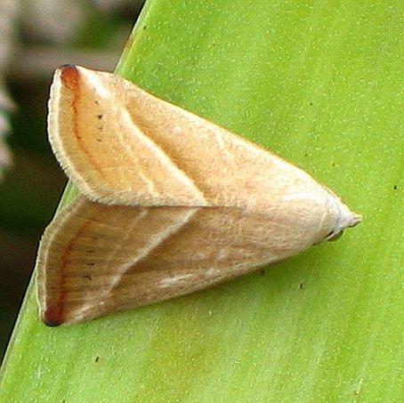 red-line moth - Eublemma recta
