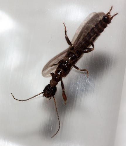 Is this a termite? We live in Phoenix Arizona