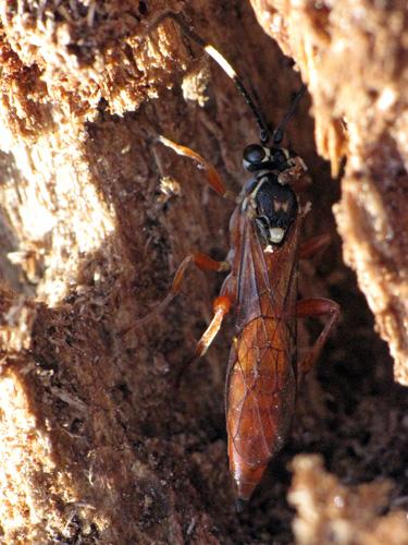 Ichneumonid wasp - Aoplus confirmatus - female