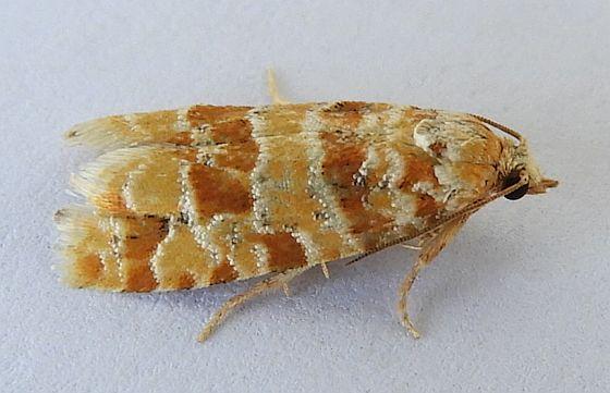 Arizona Moth - Eucopina bobana