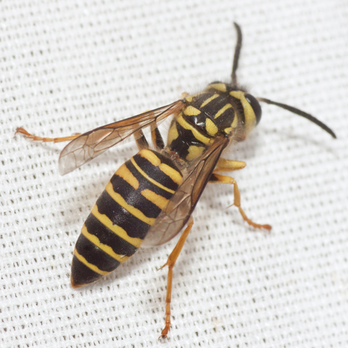 Southern Yellowjacket - Vespula squamosa