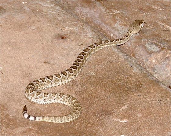 Alabama black snake 4 3