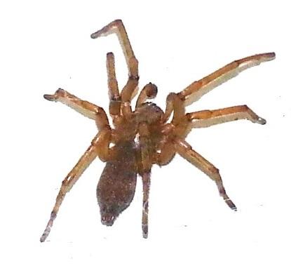 Yellowstone Spider  - male