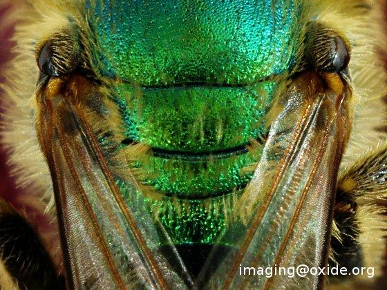 green bee - agapostemon? - Agapostemon texanus