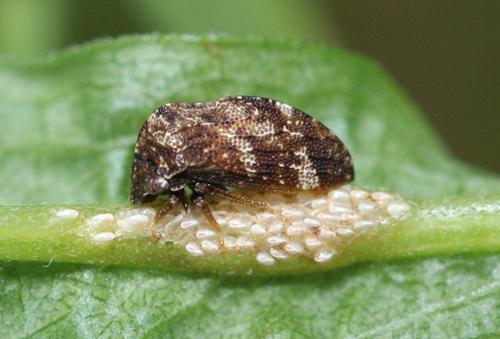 treehopper with eggs - Publilia concava