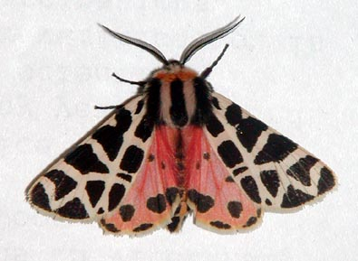 Tiger Moth (Wings Open) - Grammia incorrupta