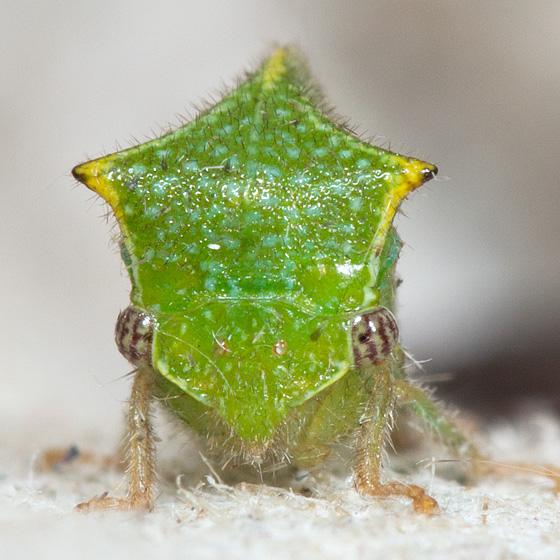 Ceresa sp? - Stictocephala taurina