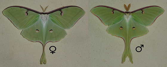 Male & Female - Actias luna - male - female