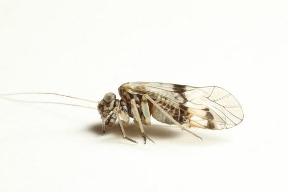 Indiopsocus texanus (Aaron) 1886 - Indiopsocus texanus - female