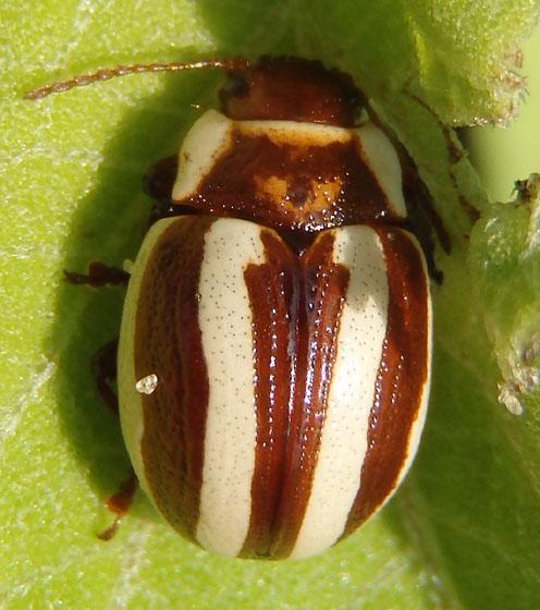 Leaf beetle - Calligrapha praecelsis