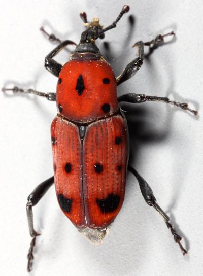 Ut Rhodo - Rhodobaenus tredecimpunctatus