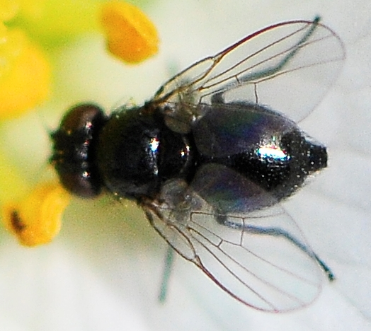Agromyzidae - Leaf Miner Flies Subfamily Agromyzinae