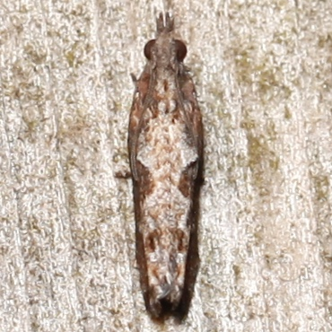 Strepsicrates smithiana - male