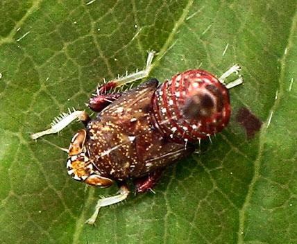 Colourful hopper - Orientus ishidae