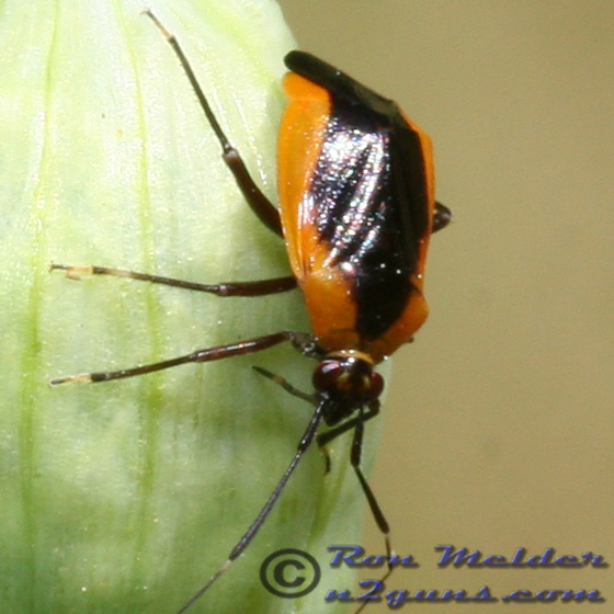 Plant Bug - Metriorrhynchomiris dislocatus
