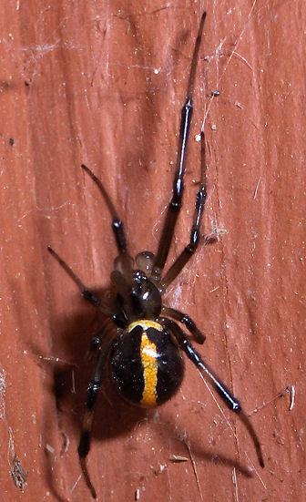 Different color male Western Black Widow - Latrodectus hesperus - male