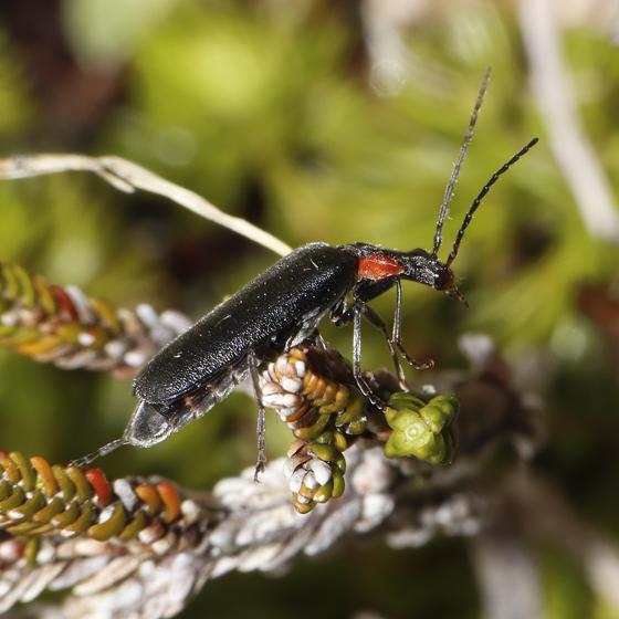 Podabrus species? - Dichelotarsus