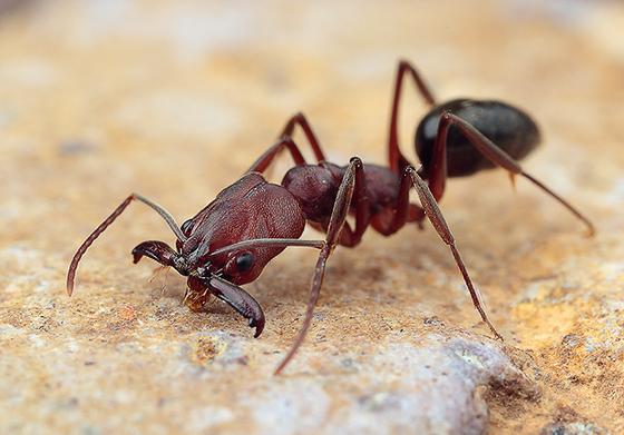 Odontomachus sp. - Odontomachus clarus