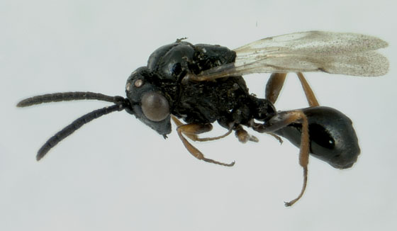 Another mystery orchard wasp - Pseudometagea schwarzii