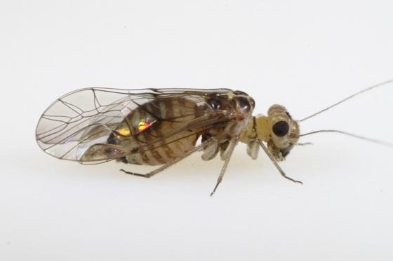 Blastopsocus lithinus (Chapman) - Blastopsocus lithinus - female