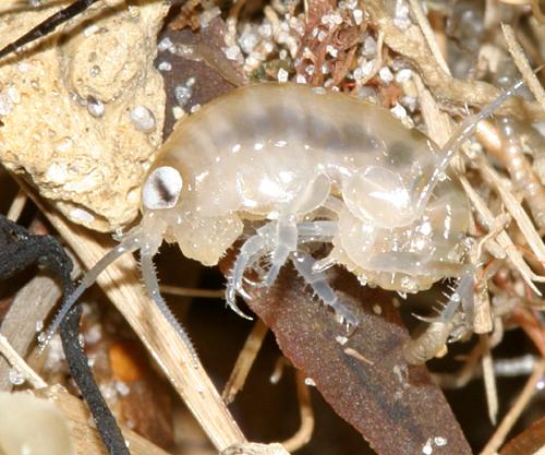 Sand Flea Americorchestia Megalophthalma Bugguide Net
