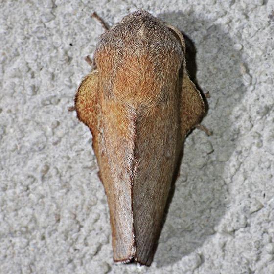 moth - Phyllodesma americana