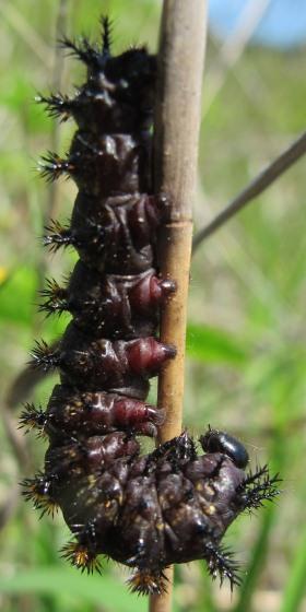 Large caterpillar - Hemileuca lucina