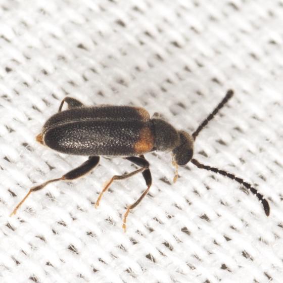 Ant-like Beetle - Elonus basalis