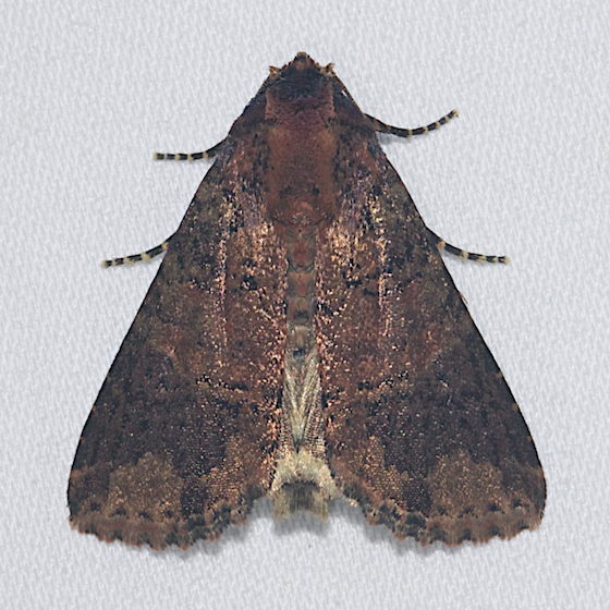 Splotched Groundling - Hodges#9713 - Condica cupentia
