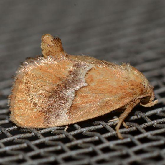 Cool Slug Moth - Lithacodes fasciola
