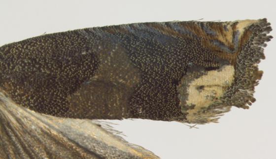 Olethreutinae, Ragweed Borer, wing - Epiblema strenuana