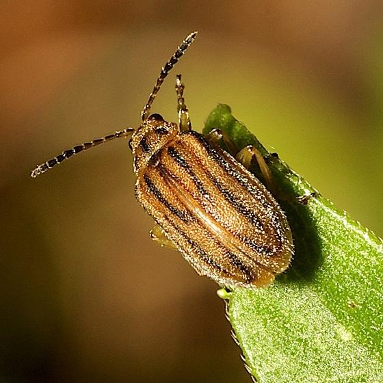 Tiny Leaf Beetle - Ophraella communa