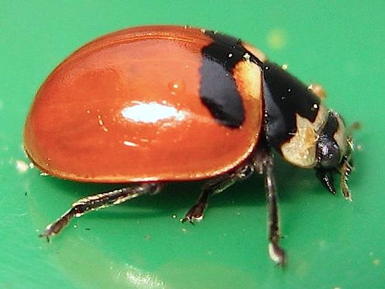 Unfamiliar markings - Coccinella trifasciata - female