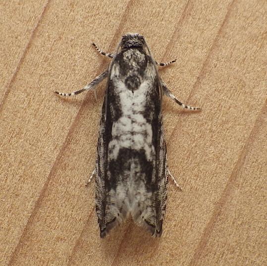 Tortricidae: Unknown specimen - Cydia lacustrina