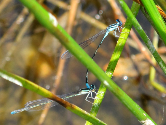 Are these Bluets or Dancers? - Enallagma divagans