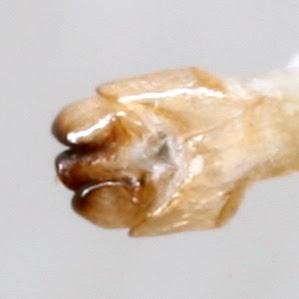 Photinus consanguineus COMPLEX - Photinus consanguineus