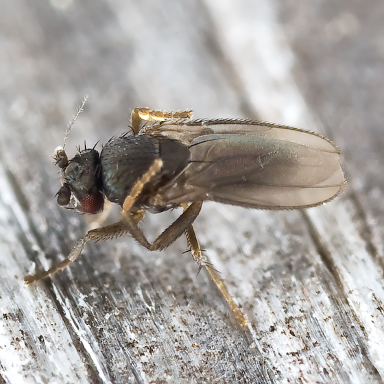 Seaweed Fly - Thoracochaeta brachystoma