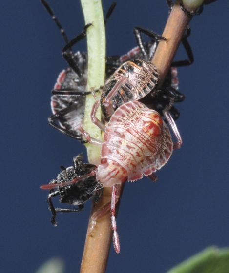 stinkbug nymphs - species? - Brochymena