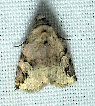 Aerial Brown - Ozarba aeria