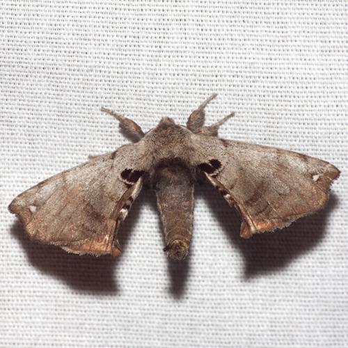 Spotted Apatelodes Moth - Hodges #7663 - Apatelodes torrefacta