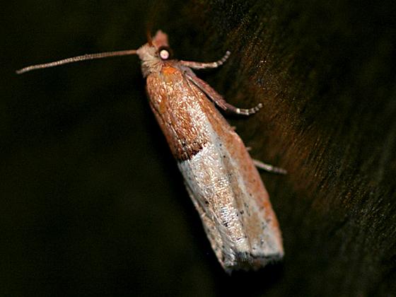 Tortricid Moth - Epinotia johnsonana