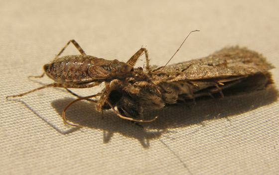 Damsel Bug sp. - Nabis