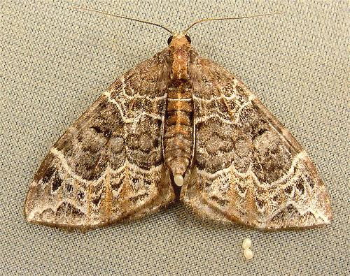 908b Ecliptopera silaceata - Small Phoenix Moth 7213 - Ecliptopera silaceata - female