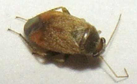 Mirid bug - Lepidargyrus ancorifer