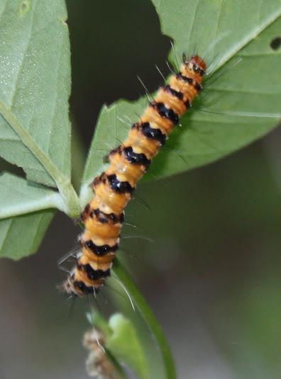 Orange caterpillar with black bands and long hairs - Utetheisa ornatrix